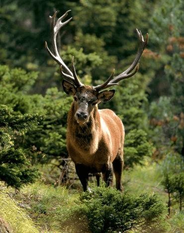 un cervo